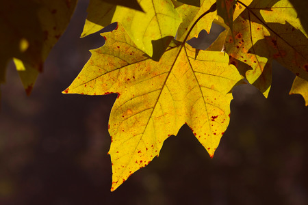 Golden yellow autumn leaves on the branch, with dark background Stock Photo