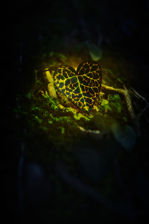 Ivy leaf, green and yellow in dark, illuminated with sunlight, heart shaped Stock Photo