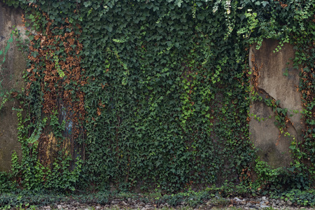 Old building wall overgrown with lush green ivy