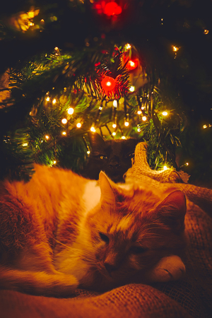Two cats, orange and black, sleeping cozy under Christmas tree