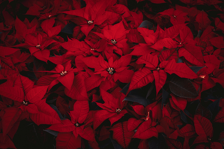 Beautiful bush of poinsettia flowers in red