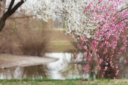 Blossoming tree branches, white and pink, in springtime by the quiet little lake