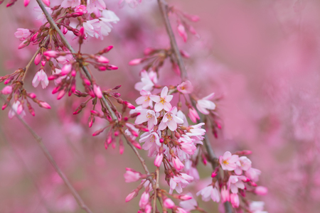 Beautiful pink blossoms on tree branches, with soft pink bokeh background Stock Photo