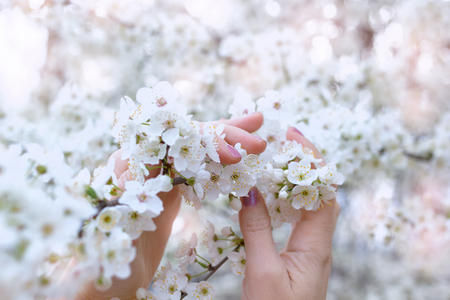 Female hands with pink nail polish, gently intertwined with branches of white cherry blossoms