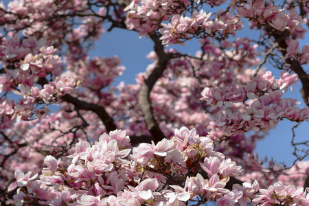 Pink magnolia flowers in full bloom on the tree branch with blue sky in background 스톡 콘텐츠 - 119547817