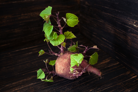 Small sweet potato sprouting fresh green leaves, wooden background