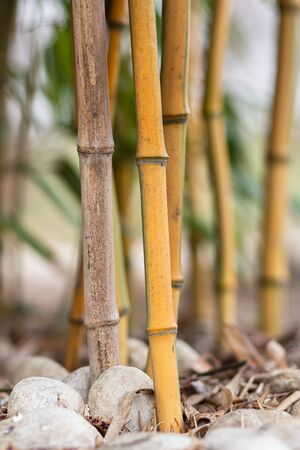 Bamboo forest detail, close up of the bamboo stalks and big white pebbles on the ground