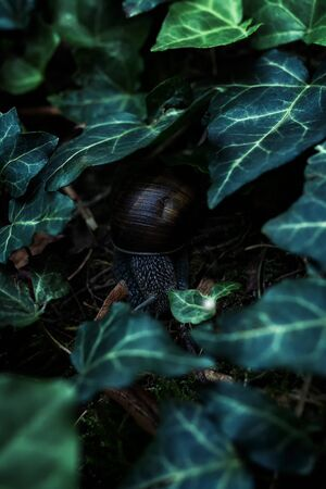 Land snail with shell on the ground under the green ivy leaves 스톡 콘텐츠