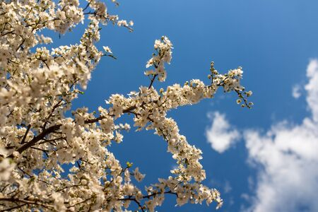 White blossoming tree branches with blue sky and white clouds in the background 스톡 콘텐츠