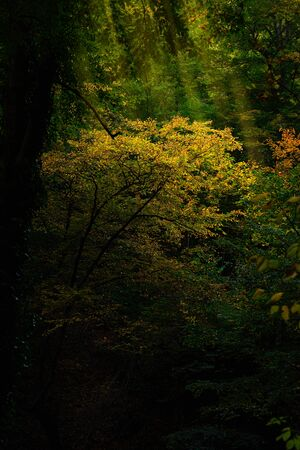Dark and mysterious forest, with yellow and green tree tops, autumn feel