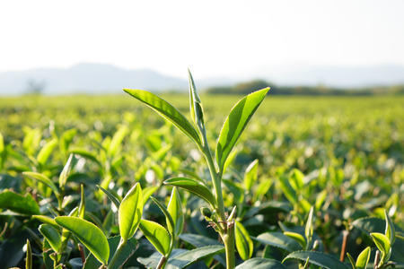 Tea leaf in the field