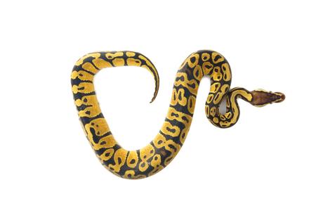 ball python on white background Stock Photo