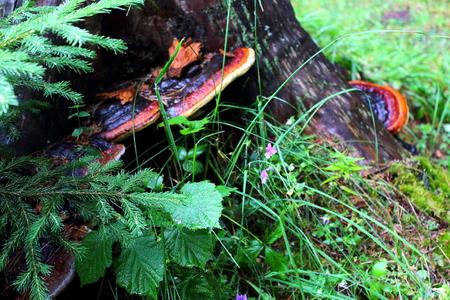 wild mushrooms: wood mushrooms, wild mushrooms Stock Photo