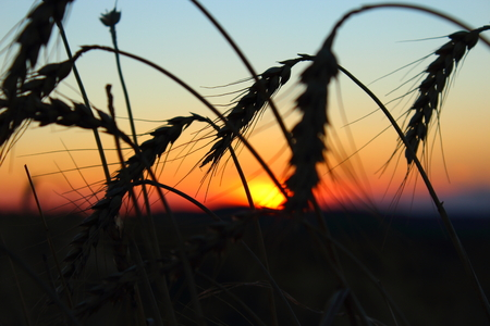 red sunset: beautiful red sunset in the wheat
