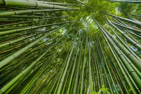 arboleda: Bosque de bamb�.