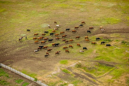 Herd of cows on the field view form above. Stock Photo - 60884690