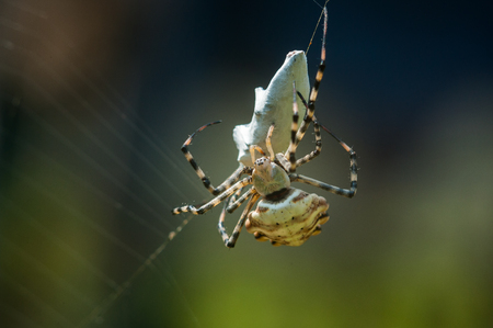 bruennichi: Big spider on web with mining.