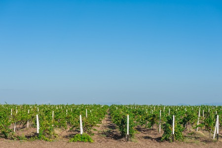 Green vineyard countryside with blue sky.