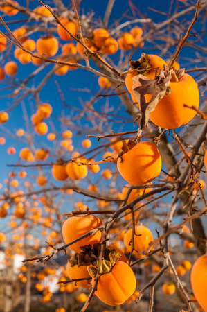 Bright persimmons on the branches with blue sky on background.