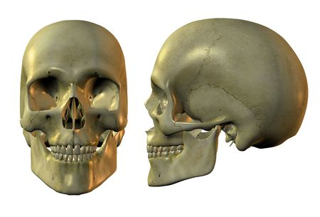 front side: 3d image of human skull in full face and profile