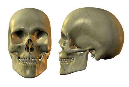 side profile: 3d immagine del cranio umano in pieno viso e del profilo