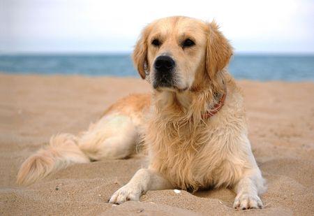 closeup puppy: dog on the beach - golden retriever, a full-length portrait Stock Photo
