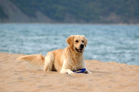 dog on the beach - golden retriever, playing with frisby Stock Photo