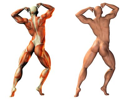 3d nude: 3d image of human muscles - anatomy and normal