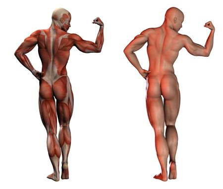anatomy naked woman: 3d image of human muscles - anatomy and normal
