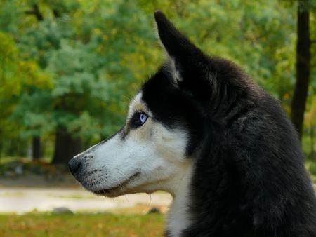dog in the park - Siberian Husky, close-up shot photo
