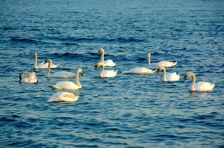many white swans in flight swimming in the open sea, blue background photo