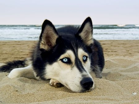 siberian: dog on the beach - Siberian Husky, close-up portrait