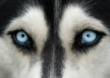 blue eye husky: close-up shot of husky dog blue eyes Stock Photo