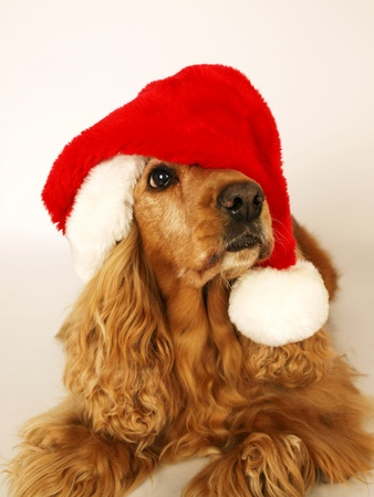 brown cocker spaniel with red christmas hat         Stock Photo