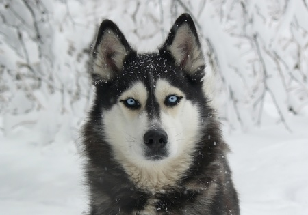 husky: dog in the snow - Siberian Husky with blue eyes