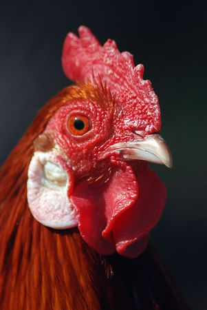 close up of a chicken, portrait Stock Photo - 3935164