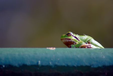 croak: A beautiful little tree frog taken in yard Stock Photo