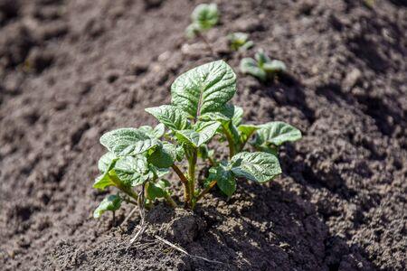 Germogli verdi di patate novelle all'inizio della primavera presso l'orto. Giovani germogli. Righe di letti vegetali piantati con patate nell'orto rurale. Avvicinamento. Messa a fuoco selettiva. Copia spazio.