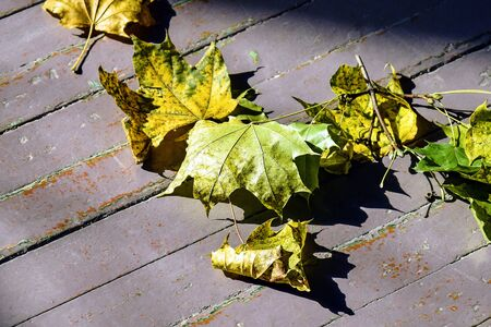 Dry yellow-green autumn maple leaves lie on an old wooden floor. Close-up. Selective focus. Copy space.