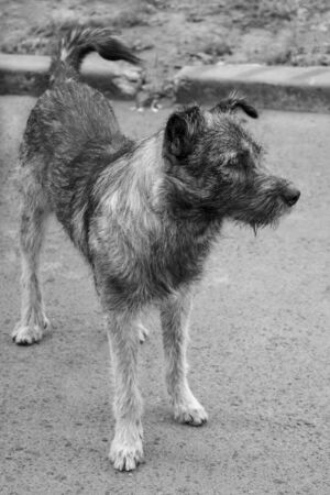 Black and white photo of a homeless dog looking into the distance. Roaming dog looking for its new owner and hopes that it will have new life in a new home soon. Close-up. 版權商用圖片