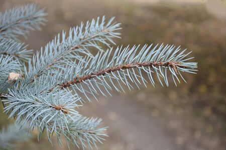 Needles of blue spruce, coniferous branch. One fluffy branch of blue spruce on a blurred background of the earth. Close-up. Selective focus. Copy space.