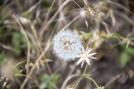 Big fluffy dandelion on a blurry natural background. Close-up. Selective focus. 写真素材 - 138838080
