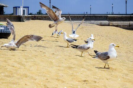 Wildlife: Greedy Seagulls Can't Share Prey on sandy beach. Flock of seagulls quarrel over food on seashore. Reklamní fotografie