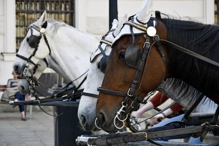 White and brown pair of horses in harness, vintage style. Old horse-drawn carriage riding on city street at Hofburg palace in Vienna, Austria. Close-up. Selective focus.