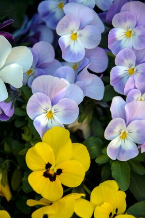 Spring Flower, mixed colors of pansies in garden. Vertical photo. Close-up. Banco de Imagens