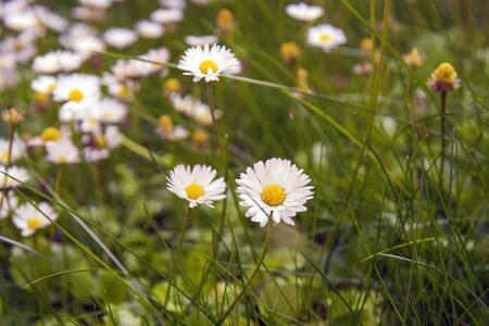 Field of daisies, summer day. Herb plants in meadow. Floral, nature. White daisies grow and smell. Chamomile background. Selective focus. Banco de Imagens