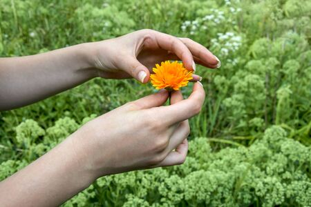 Orange daisy calendula flower in female hands on blurred background of green vegetation. Annual medicinal plant. Selective focus. Copy space.