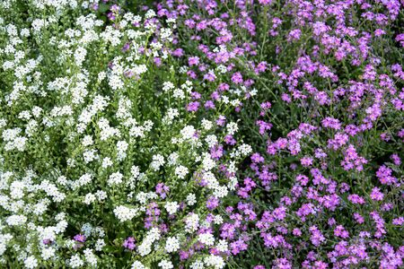 Abstract natural background of small white and lilac flowers in flower bed. Selective focus.