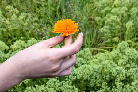 One orange calendula flower in female hand on blurred background of green vegetation. Annual medicinal plant. Selective focus. Copy space. Banco de Imagens