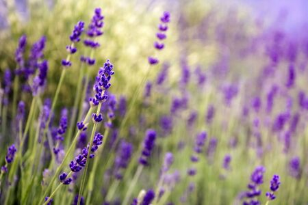 Blooming Lavender in garden. Purple flowers. Selective focus. Blurred background.